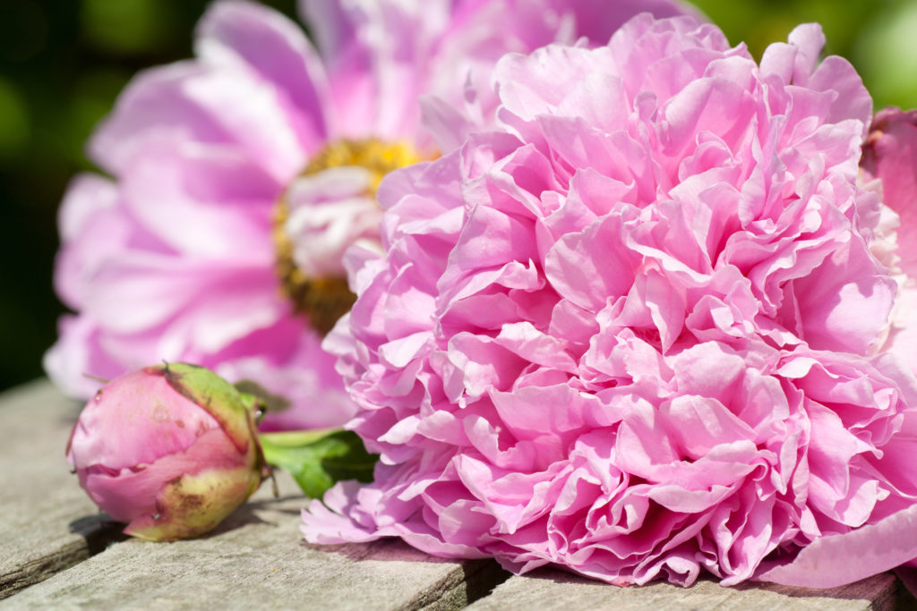 Peony on a wooden table in the garden